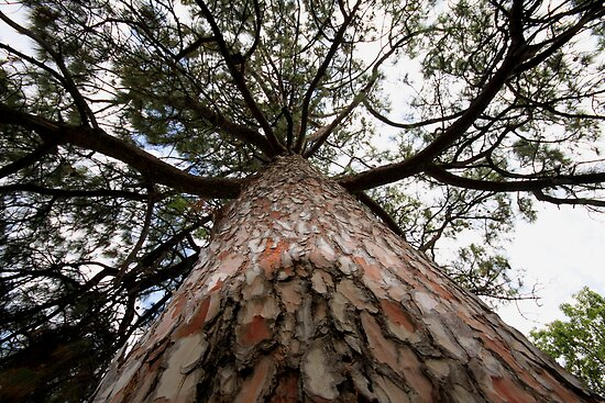 Black Pine Past, Present & Future... by troy gregory