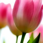 Lilioideae Tulipa by mikepom