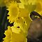 Sunset On The Daffodils by NatureGreeting Cards ccwri