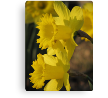 Sunset On The Daffodils Canvas Print