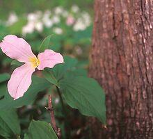 Pink Trillium by Bill Spengler