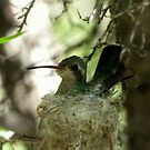 Broad-billed Hummingbird ~ Nesting Female by Kimberly Chadwick