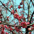 spring cherry blossoms by Rae Stanton