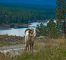 Big Horn Ram by Bryan D. Spellman