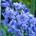 The bluest of Spring Bluebells by hjaynefoster