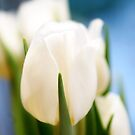 White tulip_2 by yaDes