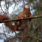 Parde Deux ....  (Red Squirrel) by FoxfireGallery / FloorOne Photography