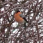 Bullfinch by amy4vince
