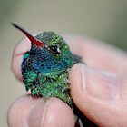 Banding of Hummingbirds  by Judy Grant