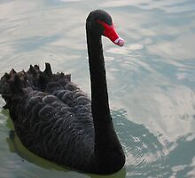 Black Swan by Michael Vickery