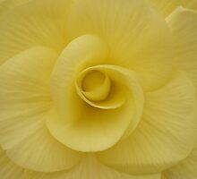 Begonia by beeden