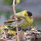 Soggy Siskin drying out. by Crannaig