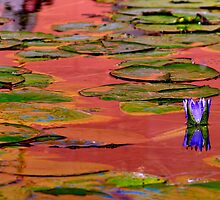 A WATER LILY IN RED&BLUE by Khaled EL Tangeer
