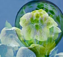 Helleborus Bubble by Tracy Riddell