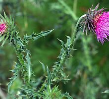 "The Common but Beautiful ""Musk Thistle""  by Max Buchheit"