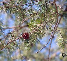 SPRING PINECONE  3-20-10 by BCallahan