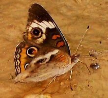 PLAYFUL BUTTERFLY by Terra 'Sunshine' Gilbert