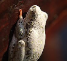 Tree frog by Brian Edworthy