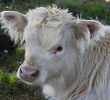 Vanilla Cream Calf by coffeebean