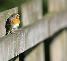 robin on  fence by Chukie