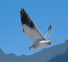 Blach shouldered kite hovering by wildshot
