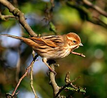 Female Reed Bunting by Chukie