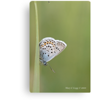 Common Blue, polyommatus icarus Canvas Print