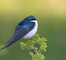 Tree Swallow On Green by Gary Fairhead