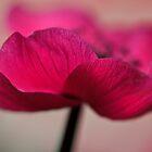 Anemone by Stas Medvedev