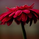 Gerbera in Dark Violet by Stas Medvedev