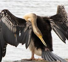 Darter engaged in preening by DianneLac