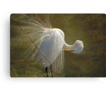 Avery Island Egrets--Preening Time 2 Canvas Print