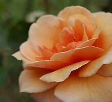 Apricot Bloom by michellerena