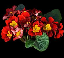 The Primroses are out !! by Sheila Laurens