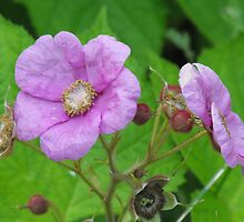 Purple-flowering Raspberry- Rubus odoratus by Tracy Faught