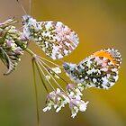 Male Orange-tip Butterflies by Neil Bygrave (NATURELENS)