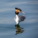 Great Crested Grebe by mamba
