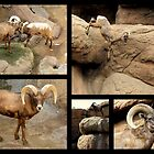 Bighorn Sheep ~ Collage by Kimberly P-Chadwick