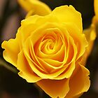 Yellow Rose by Samantha Bloomfield