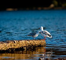Seagulls Chatting by Rhettro