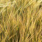 Barley in evening summer light by Richard Flint