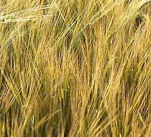 Barley in evening summer light by Richard Flint