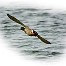 Mallard in Flight by Trevor Kersley