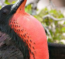 Frigate Bird - Galapagos Islands by Sue Earnshaw