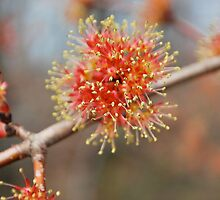 Spring Fireworks II  (Maple Tree) by Jeff Stroud