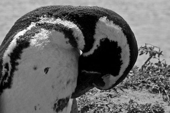 Pinguin - Puerto Madryn, Argentina by moensel
