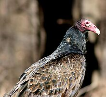 Turkey Vulture by Jim Sugrue