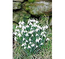 Snowdrops by the Wall Photographic Print