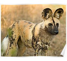 African Wild Dog Close Up Poster