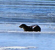 CANADIAN  OTTER  by Marie  Morrison